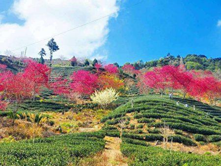 古坑山區盛開的櫻花