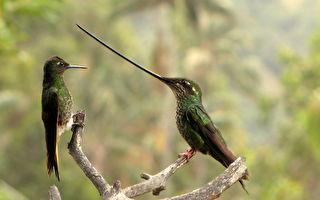 精采畫面 稀有蜂鳥為爭食懸停在對手長喙上