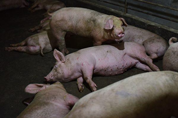 云南富宁县现非洲猪瘟疫情 今年第三起