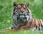 【疫情2.8】印第安纳动物园两只老虎染疫