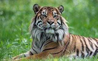 【疫情2.8】印第安納動物園兩隻老虎染疫