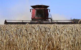 面临中共威胁 澳洲小麦对华出口仍创新高
