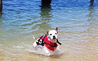 澳洲男童险溺水 聪明狗听主人指令及时救出