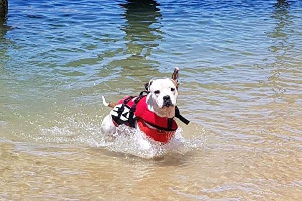 澳洲男童險溺水 聰明狗聽主人指令及時救出