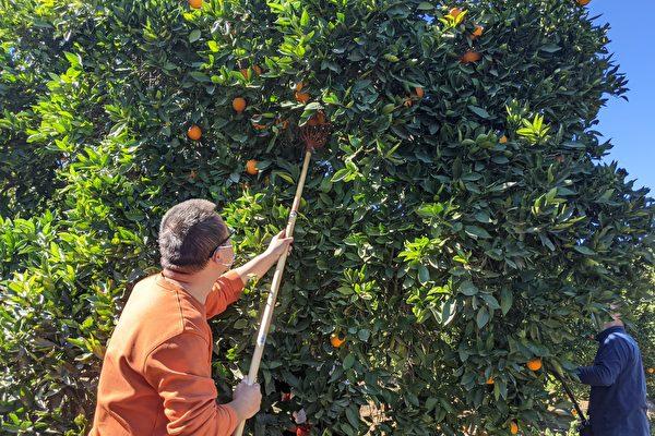 内陆华人采橙捐爱心 民众自备采摘器具