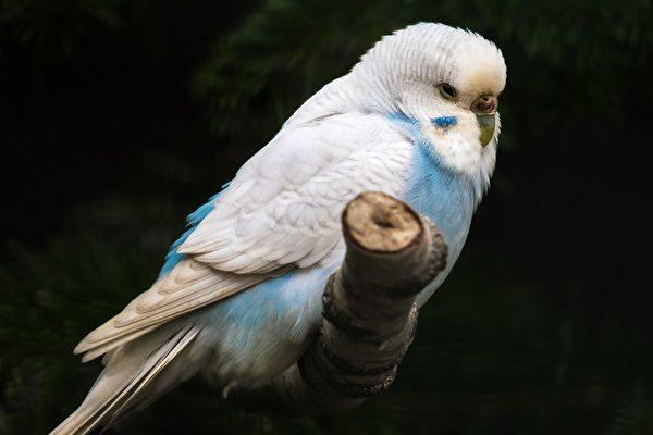 男子拍片记录他孵蛋并照顾小鹦鹉 千万人看