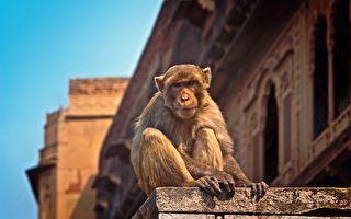 印度雙胞胎女嬰疑遭猴子帶走 一溺死一生還