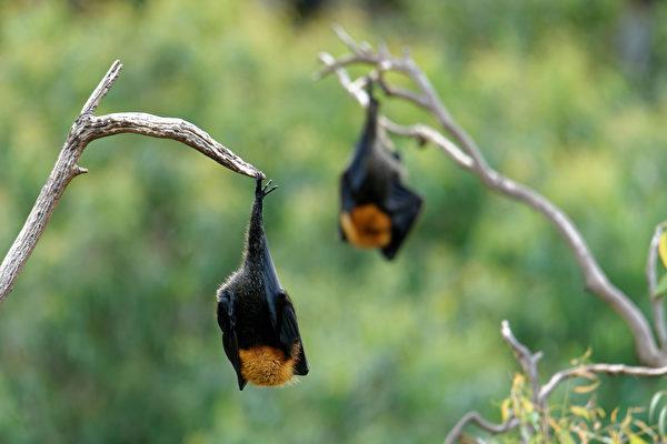 立百病毒跟冠狀病毒很像,原本皆由蝙蝠傳染。(Shutterstock)