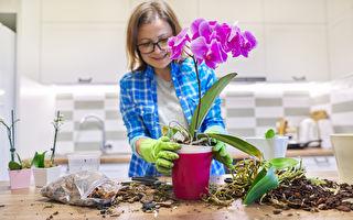 蘭花高貴典雅花期長 掌握4要領養蘭花不難