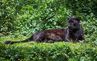 罕見黑豹現蹤印度公園 緊盯鏡頭盡顯霸氣