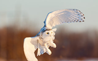 时隔130年 美丽的雪鸮再现纽约中央公园
