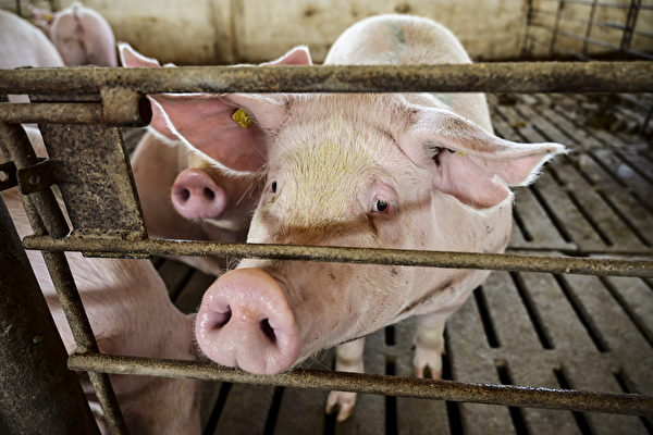 豬肉價格下降近24% 逼近豬企自繁自養成本線
