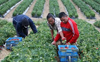 草莓农场关闭 政府限制季节工被行动党指责