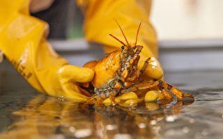 三千万分之一概率 美渔民捕获稀有黄金龙虾