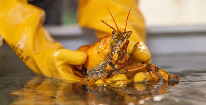 三千萬分之一概率 美漁民捕獲稀有黃金龍蝦