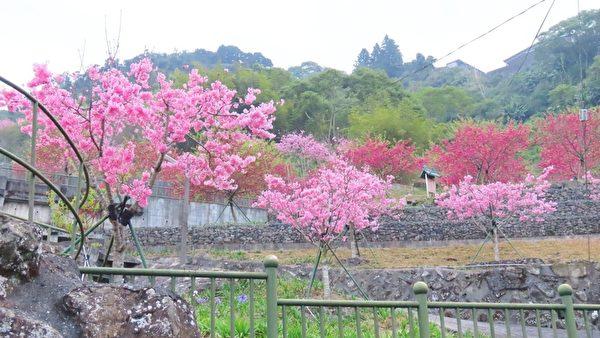 組圖:帝雉、藍腹鷴之美 台阿里山區櫻花盛開