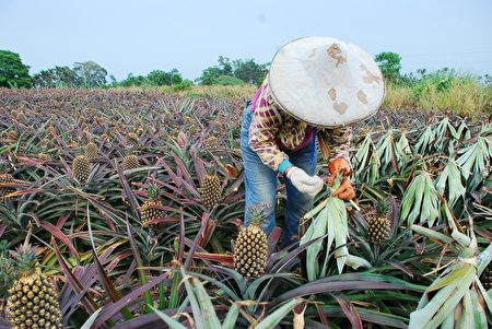 彰化縣種植的土鳳梨。