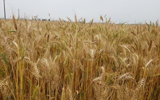 推動農業「六級化」 大城鄉創造「麥點」