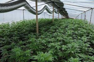 《毒品危害防制條例》種大麻未販毒下修刑責