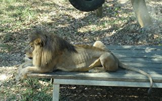 不敌宿疾 寿山动物园非洲狮小巴病逝