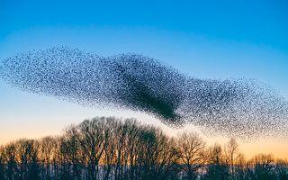 攝影師歷經數月 拍到椋鳥群變成壯觀的巨鳥