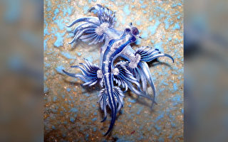 海洋生物「藍龍」漂亮 人若被其刺中如蜂螫