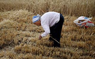 缺糧?中共要求在飼料中減少玉米豆粕用量