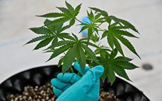 大麻合法化具爭議 未成年者新規令人憂
