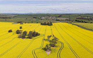 澳洲油菜籽產業成中共貿易報復最新受害者