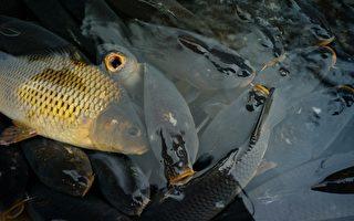 鲤鱼在澳洲泛滥成灾 东海岸七成河流沦陷