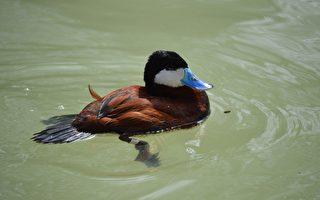 待改造湖泊現瀕危藍嘴鴨 維州政府填湖計劃遭反對