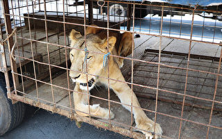 马戏团母狮爪子遭截掉濒临死亡 被解救
