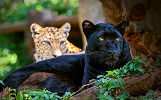 百年來人類只目擊過一次  黑豹為何如此稀有