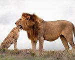 摄影师捕捉错觉镜头:狮子吞下猎豹整个头