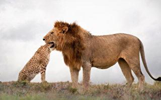 攝影師捕捉錯覺鏡頭:獅子吞下獵豹整個頭