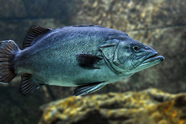 不想被吃掉! 越南被捕大魚上演30秒大逃亡