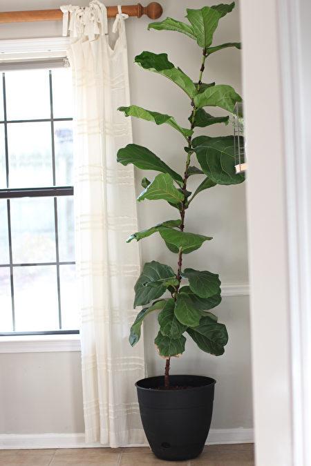 无花果树, 盆花, 室内植物