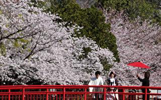 京都樱花提前绽放 创1200年最早纪录