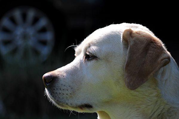 準確率95% 泰國靈犬能嗅出無症狀染疫者