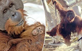 猩猩界奇蹟 猩媽突然離世 猩爸悉心照顧幼崽