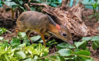 看起来像老鼠 世界最小的鹿仅重1公斤多