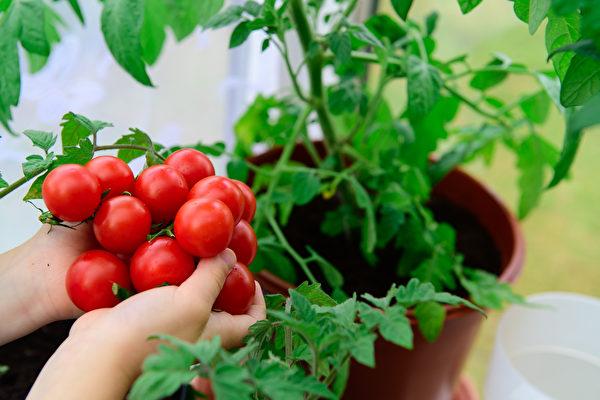 城市农夫的后院心得 小西红柿种植篇