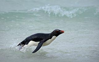 为躲避虎鲸追杀 南极小企鹅跳到游客船上
