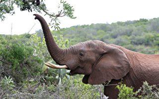 濒死大象获救 12年后认出恩人 伸长鼻打招呼
