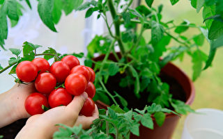 利用後院菜園 成功種植小西紅柿