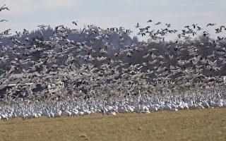 华盛顿州数万候鸟落地农田 农民有喜又有忧