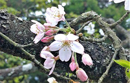 阿里山吉野櫻,花朵有五枚花瓣,花色在花朵剛綻放時是淡紅色,而在完全綻放時會逐漸轉白。