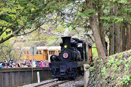 阿里山櫻花季特別安排的SL-31蒸汽火車主題列車閃亮登場。