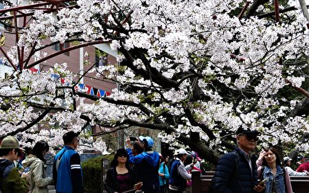 阿里山派出所前的吉野櫻盛開了。