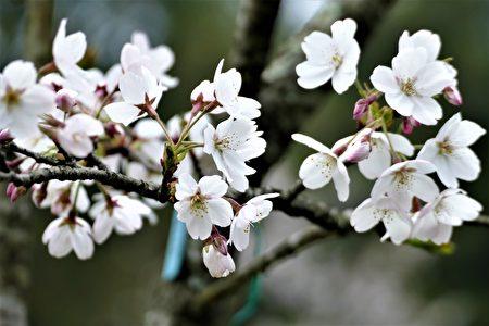 今年偽出國日本賞櫻的阿里山花季,壓軸的染井吉野櫻盛開如雪。